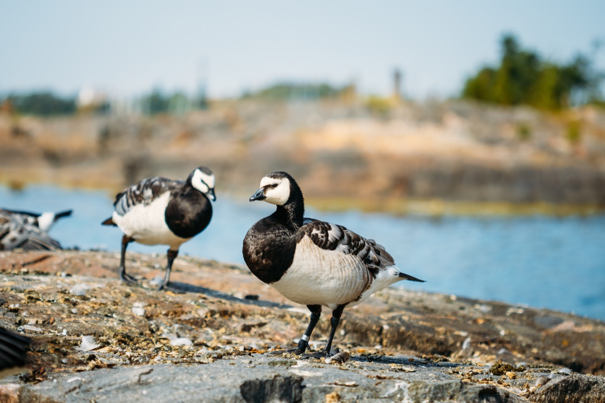 barnacle geese in finland, amazing facts