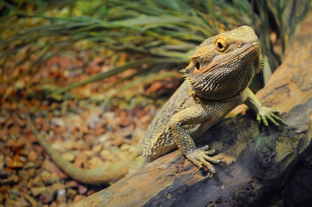 bearded dragon craziest emotional support animal