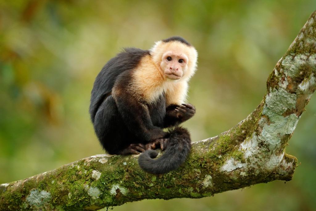capuchin craziest emotional support animals