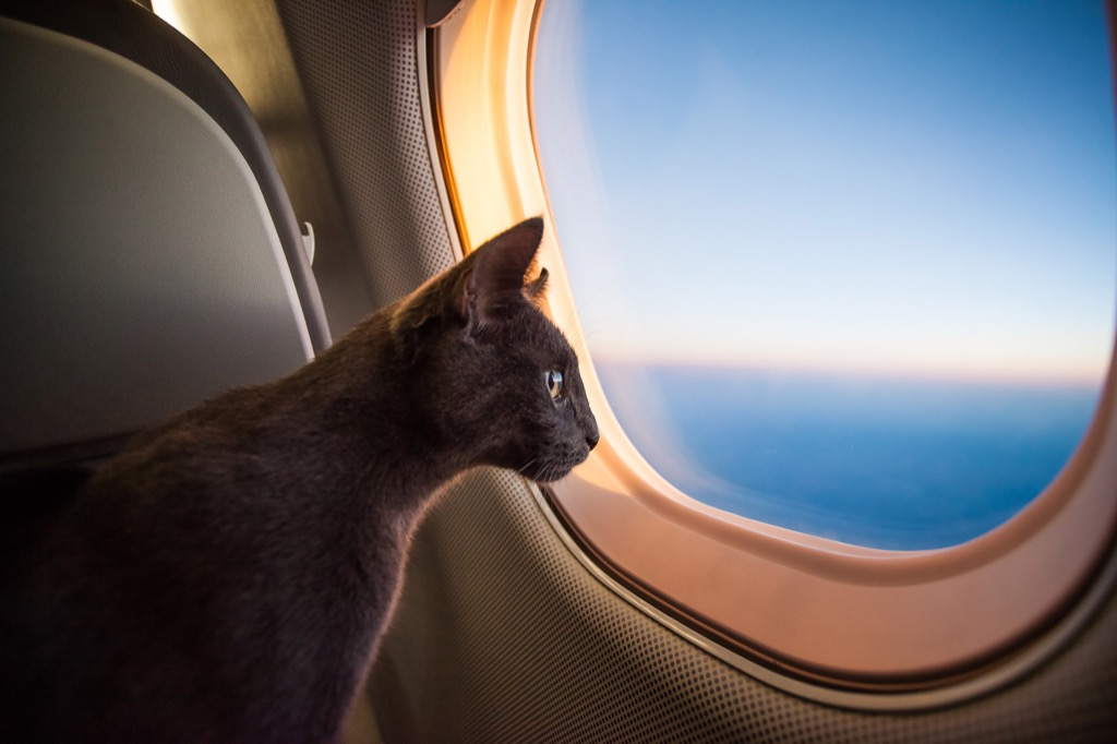 cat on an airplane - cat puns