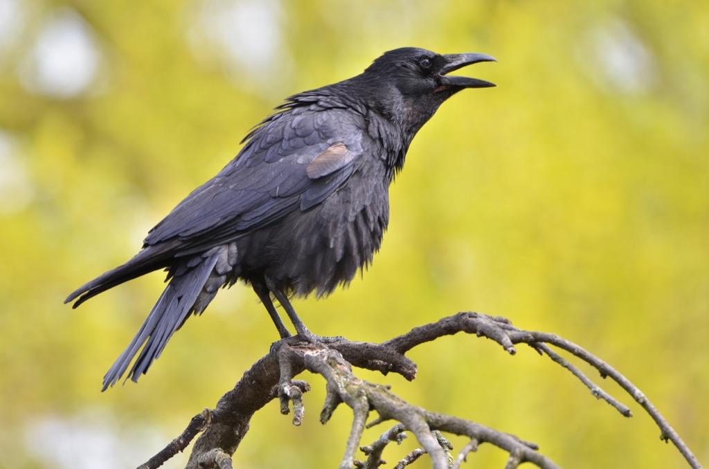crow animal bird