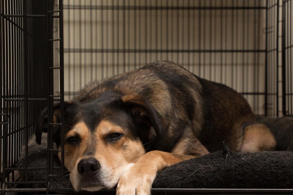 Dog sleeping in crate