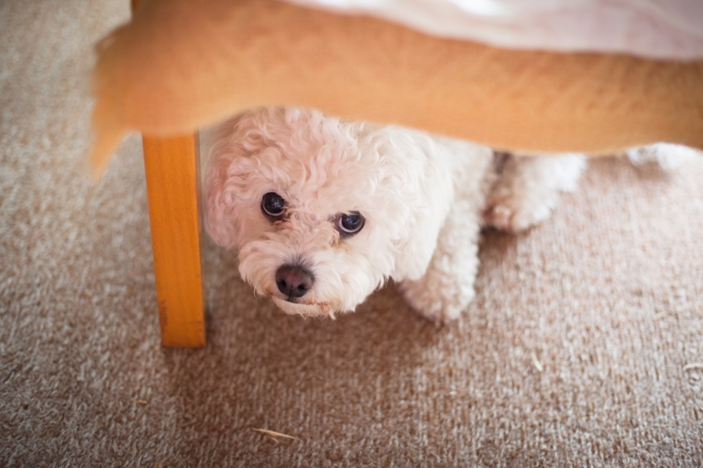 Dog is hiding from its owner under a chair