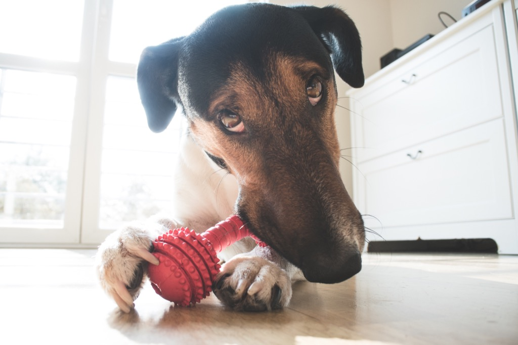 Dog chewing on his toy toy