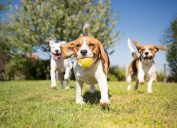 dogs playing in park with ball