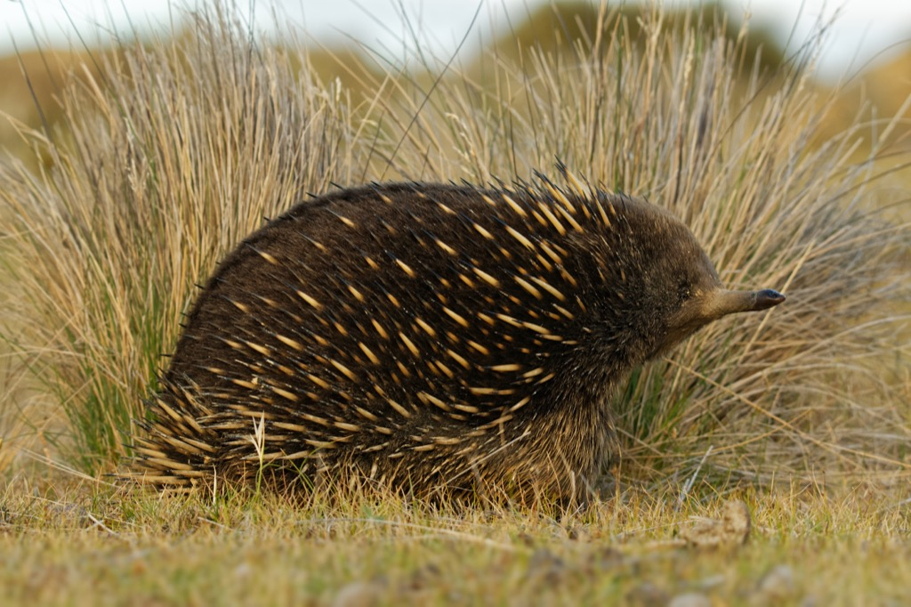 echidna 30 oldest animals on earth