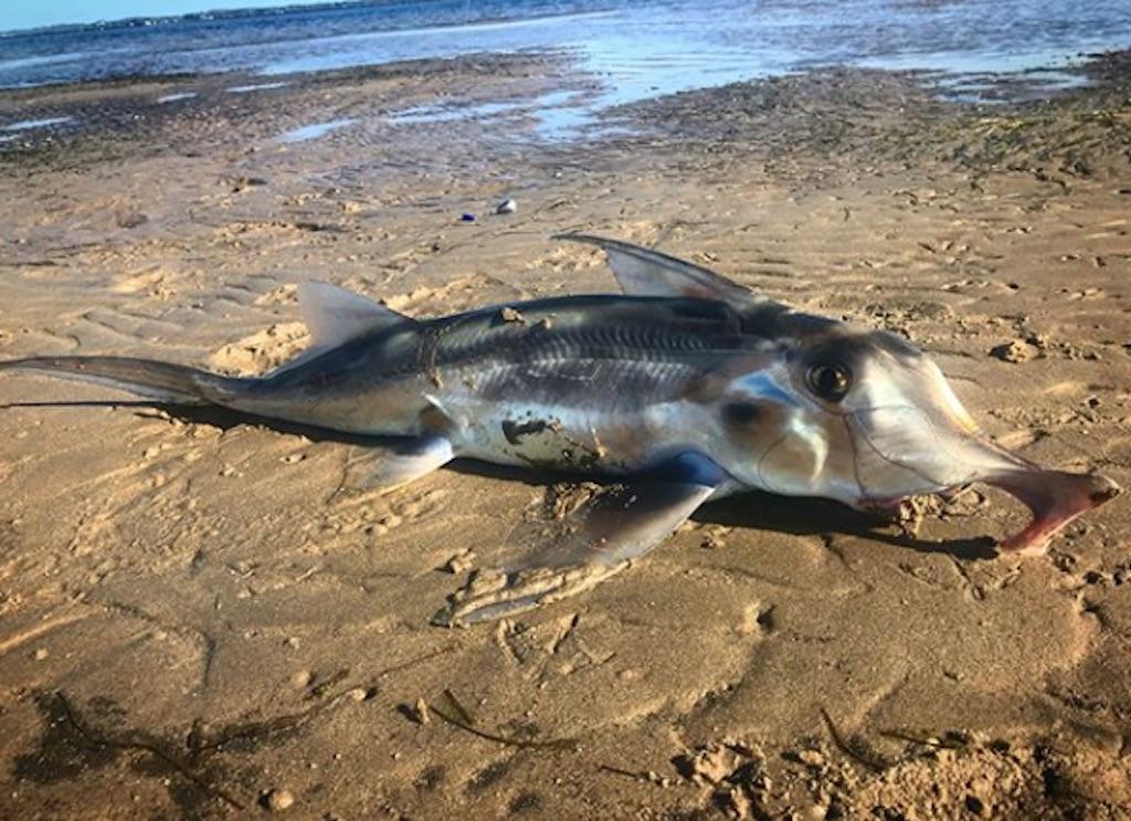 Elephant Shark 30 oldest animals on earth