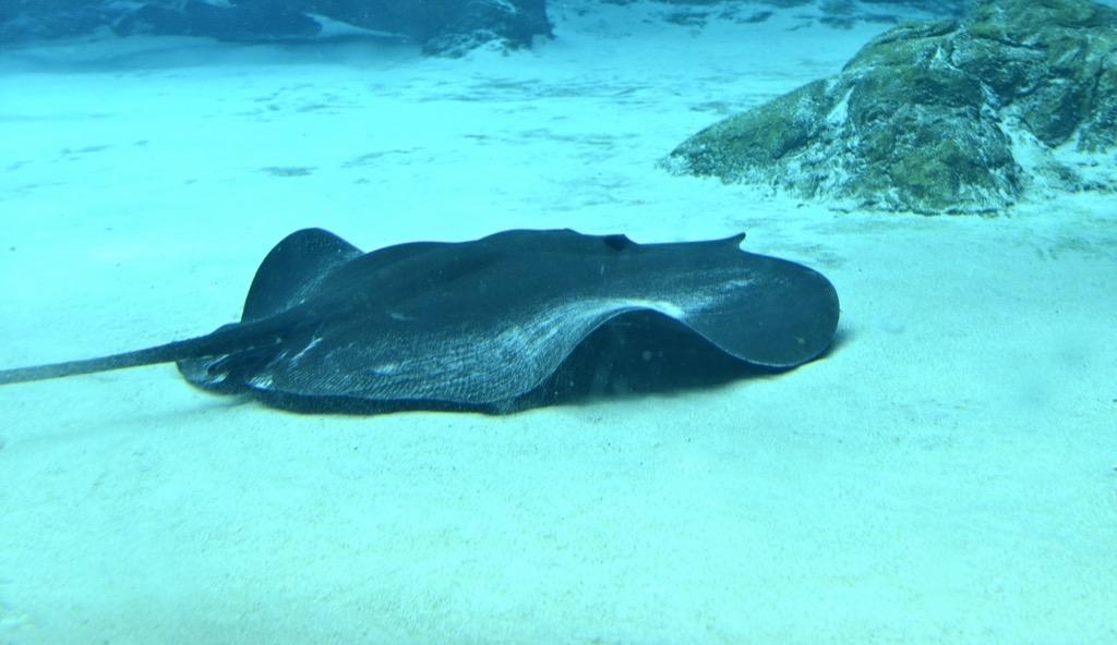 giant freshwater stingray 30 oldest animals on earth