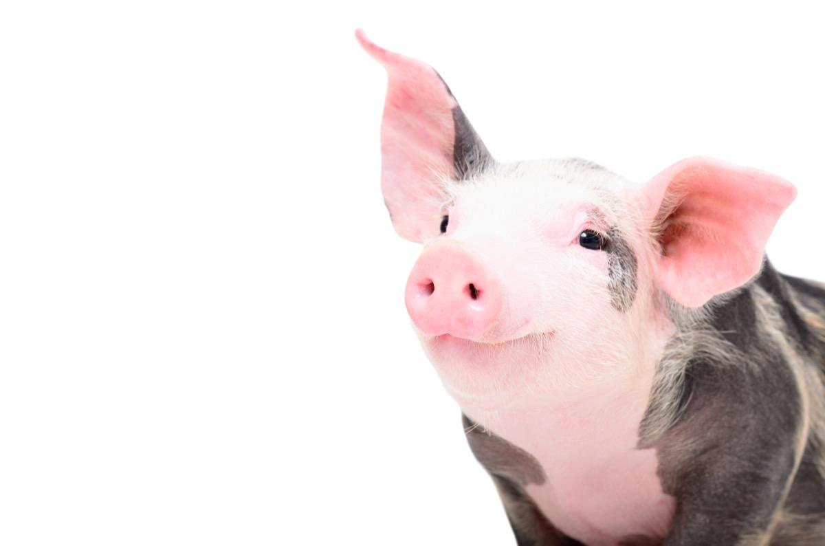 happy pig smiling at the camera