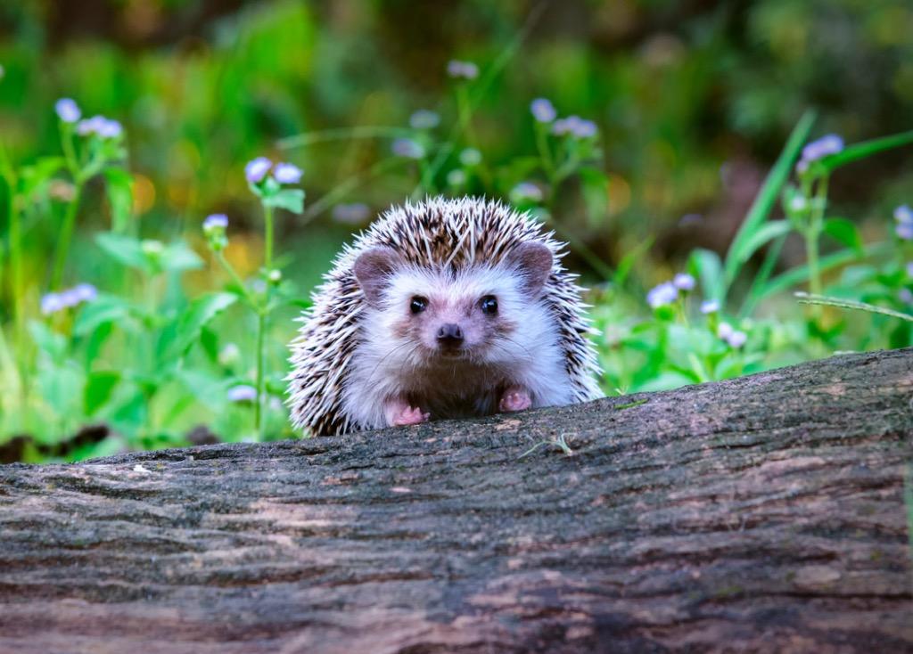hedgehog craziest emotional support animal