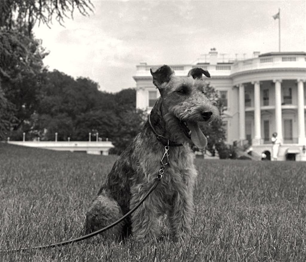 JFK Welsh Terrier Charlie