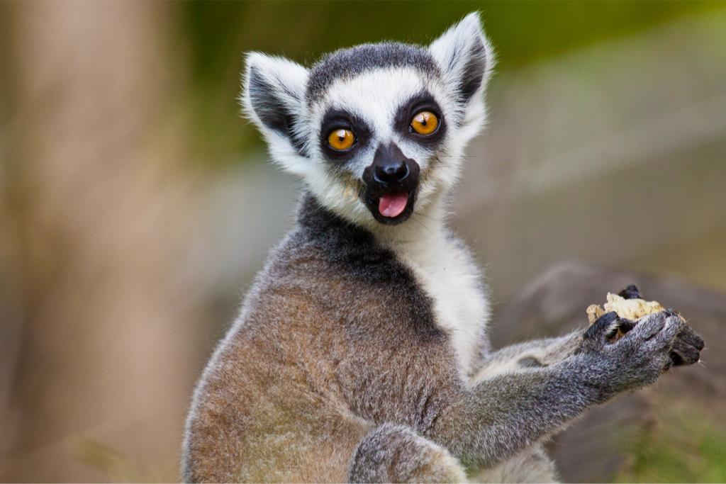 Lemur Eating