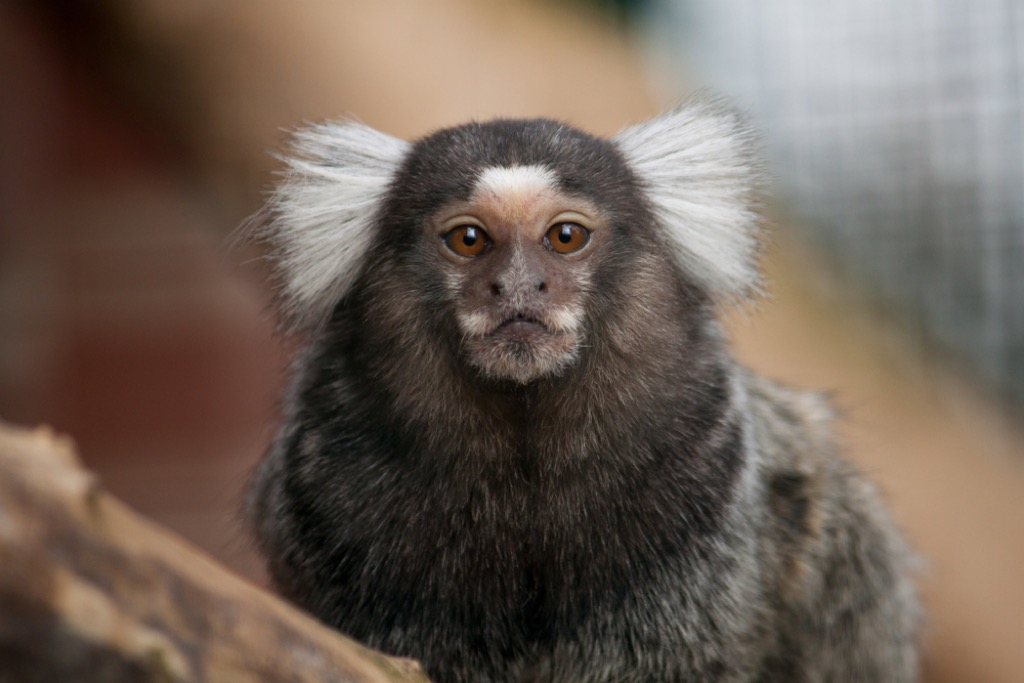 marmoset craziest emotional support animal