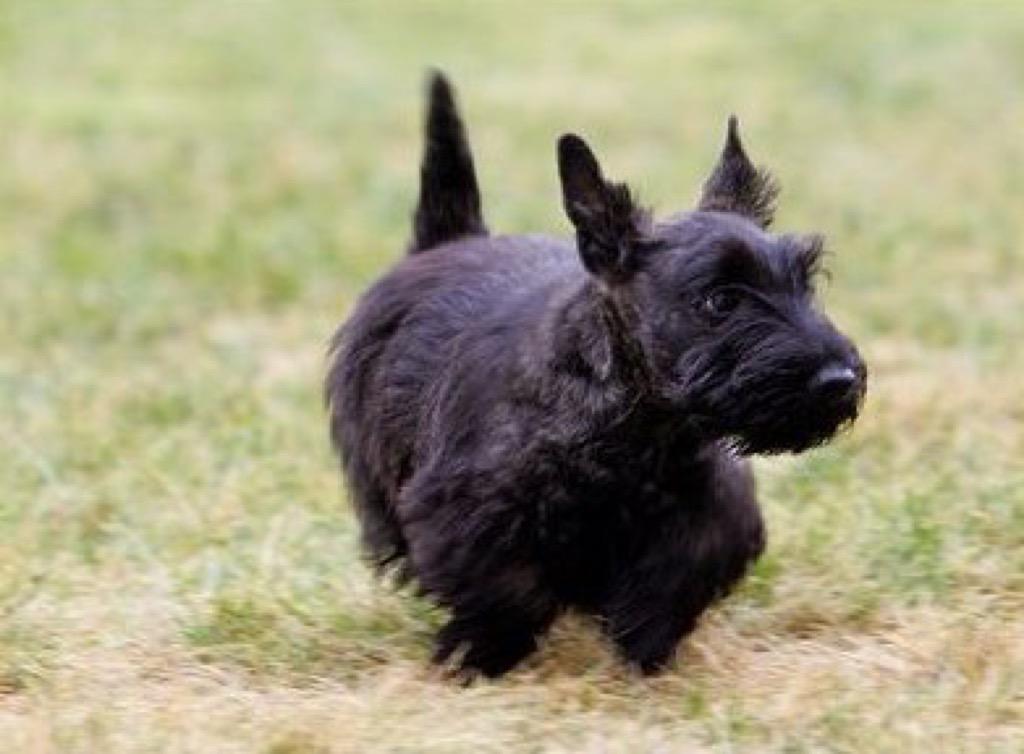 George W. Bush's dog, Miss Beazley