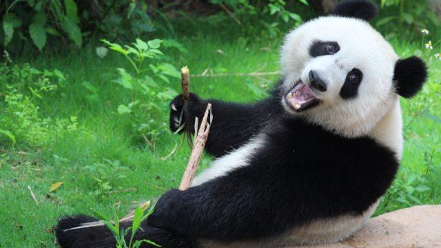 panda bear holding a stick