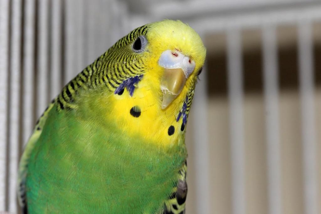 parakeet presidential pets