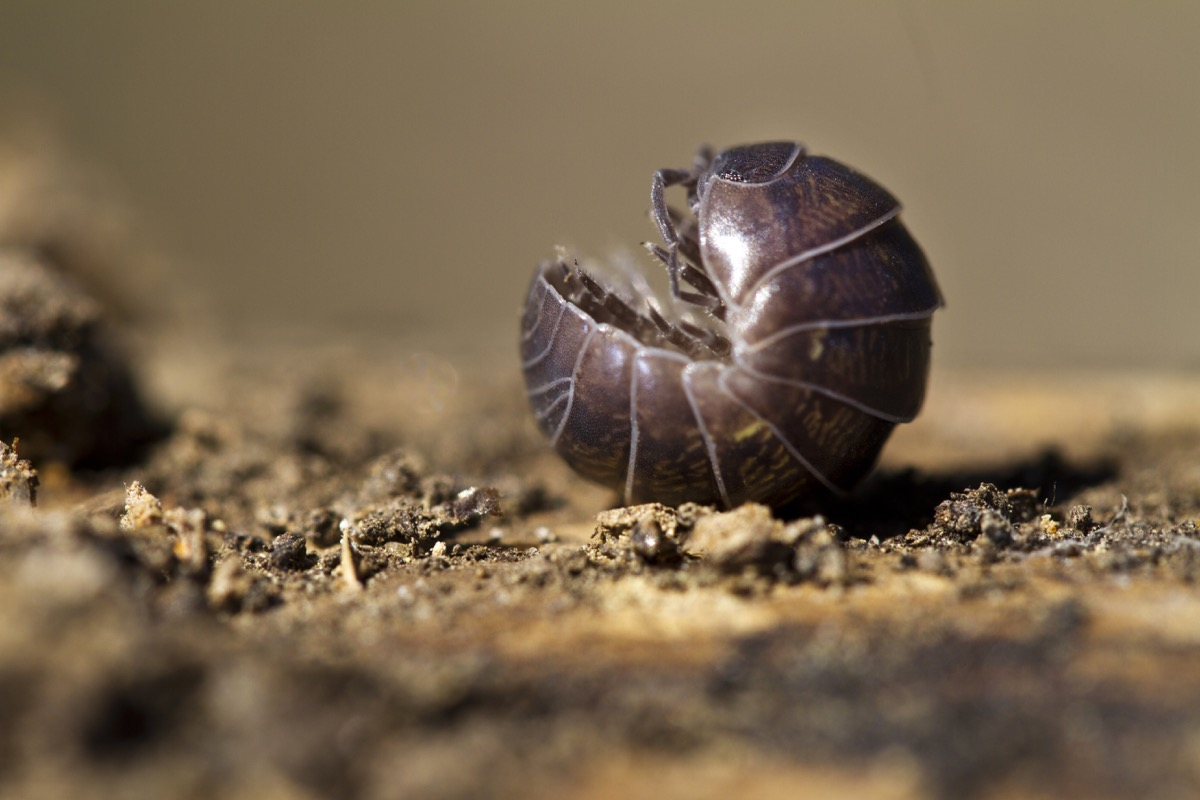 Roly poly pill bug