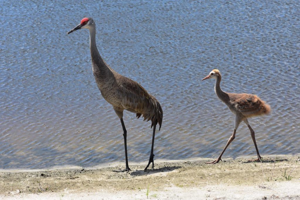 sandhill crane 30 oldest animals on earth