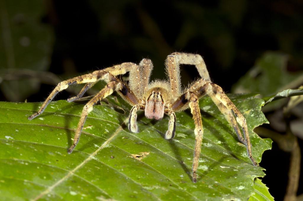 Brazilian Wandering Spider - deadliest animals