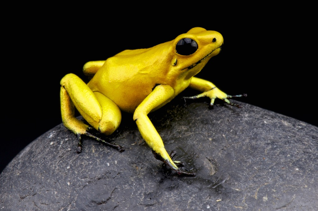 golden poison dart frog - deadliest animals
