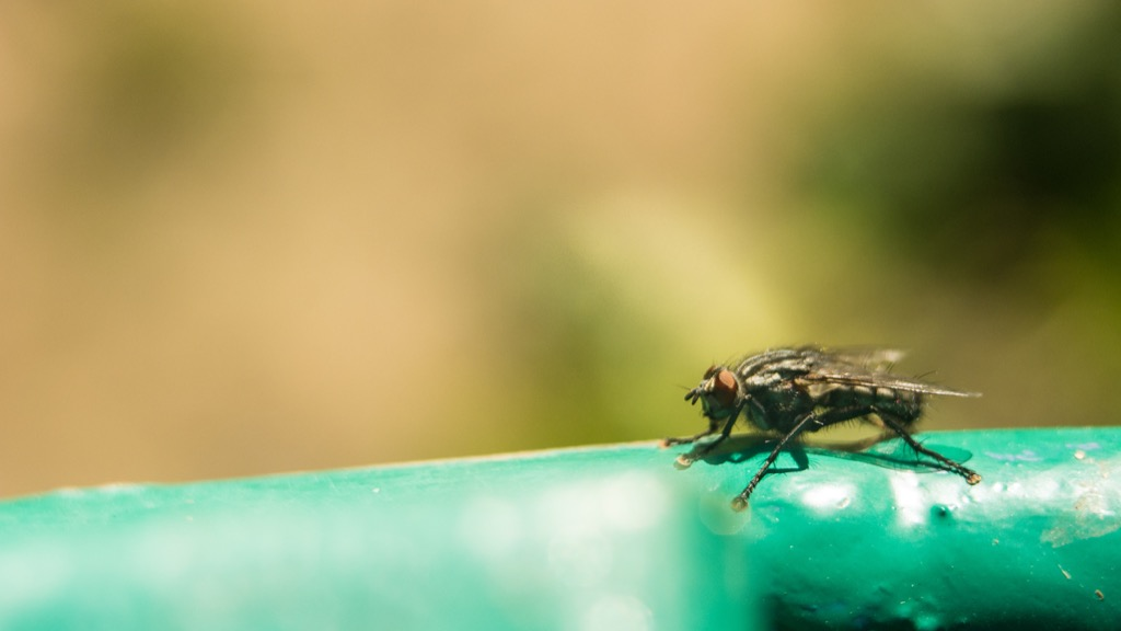 Tsetse Fly - deadliest animals