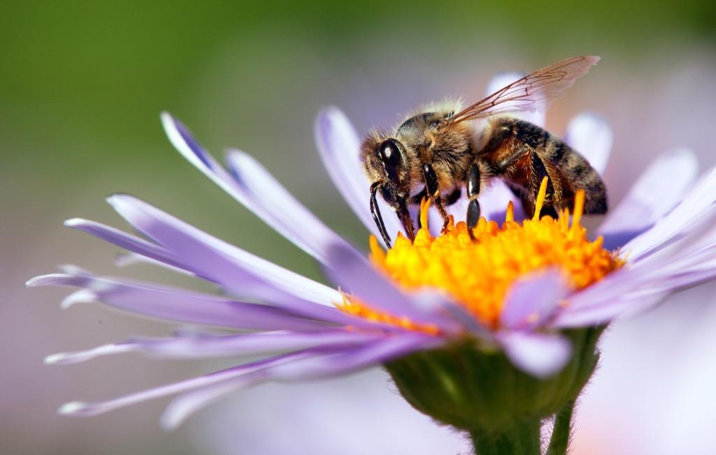 Honey Bee - deadliest animals