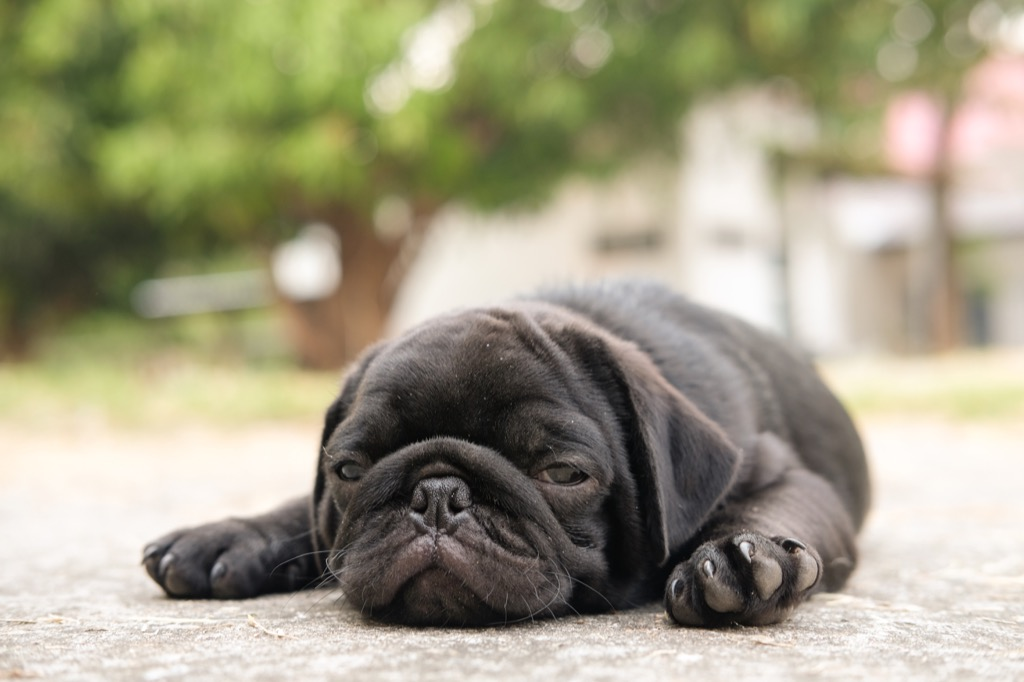 baby pug is sick from a heat strokes, signs your dog is sick