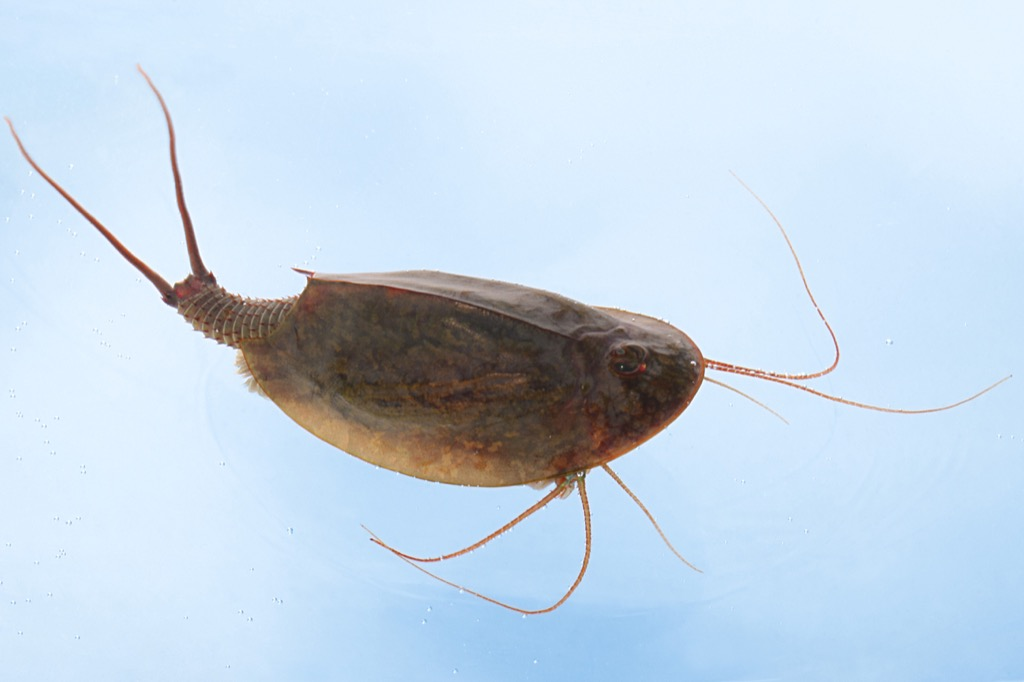 horseshoe shrimp 30 oldest animals on earth