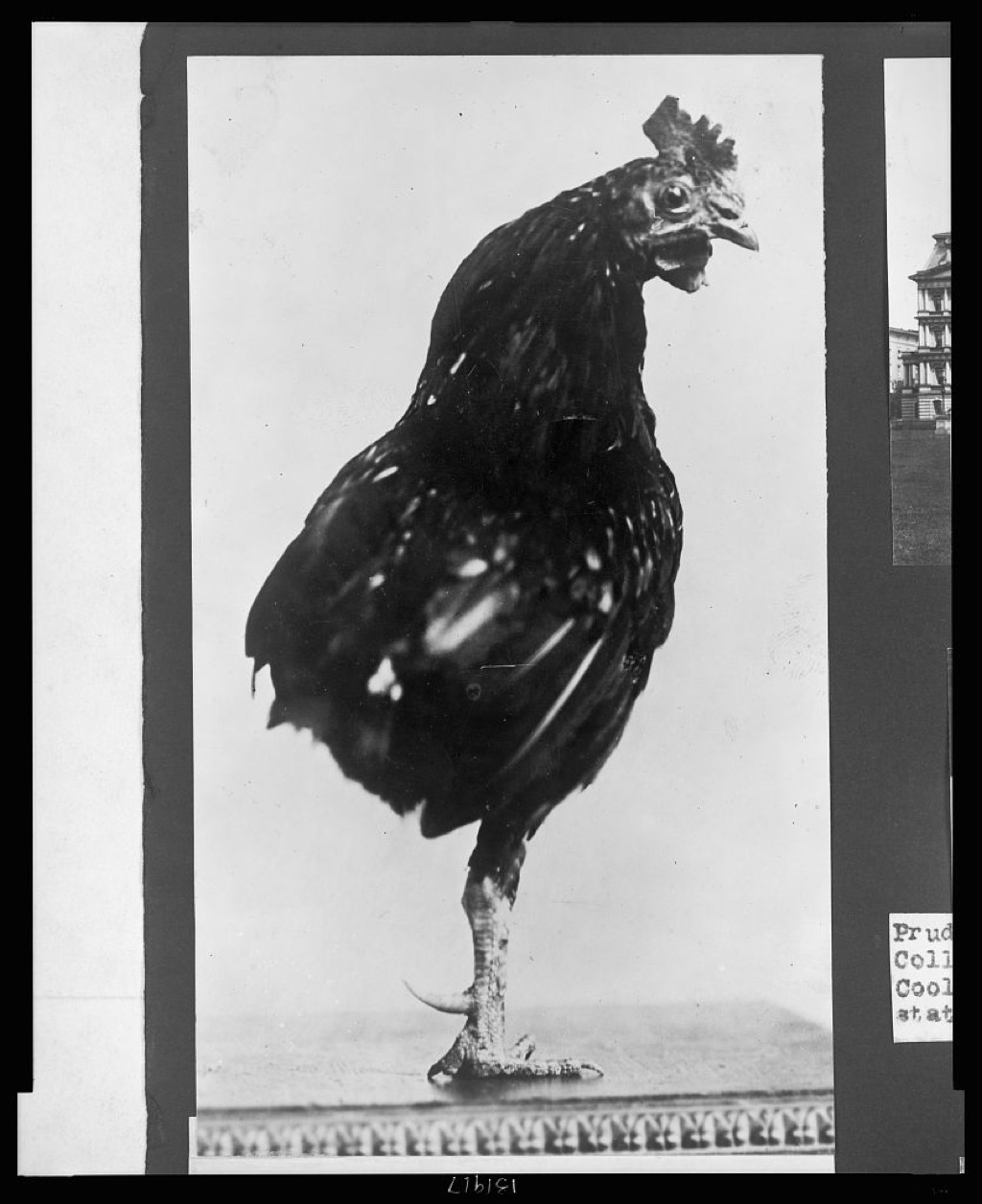 Theodore Roosevelt's one-legged pet rooster
