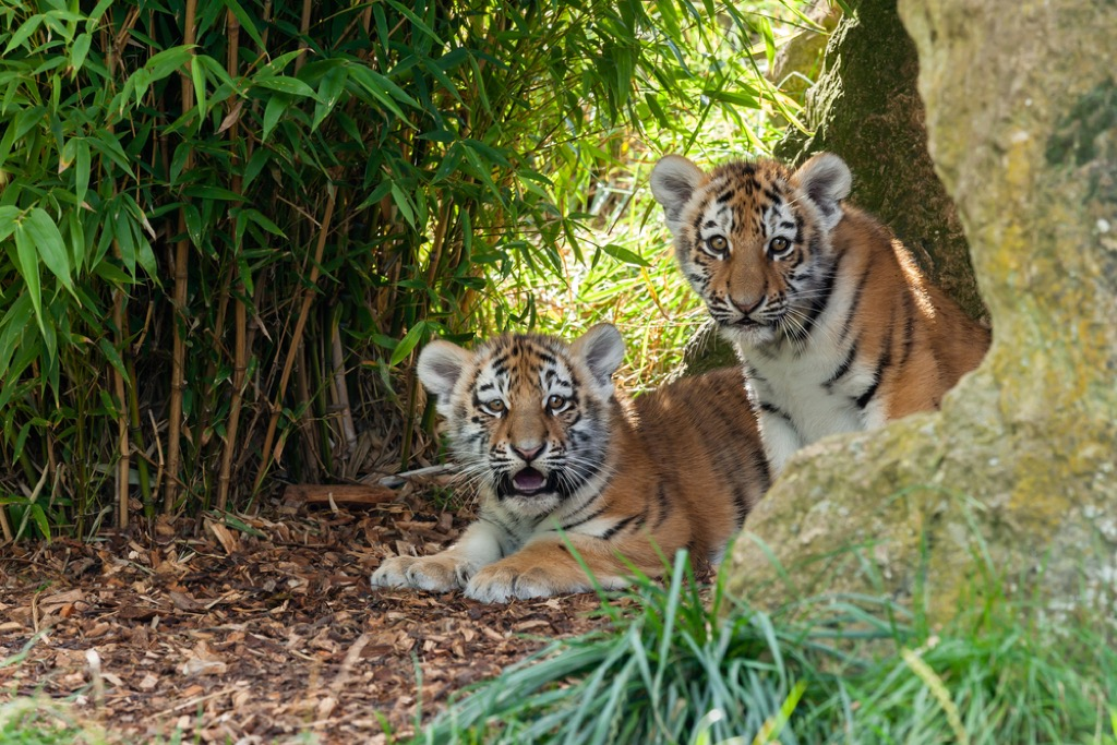 tiger cubs presidential pets