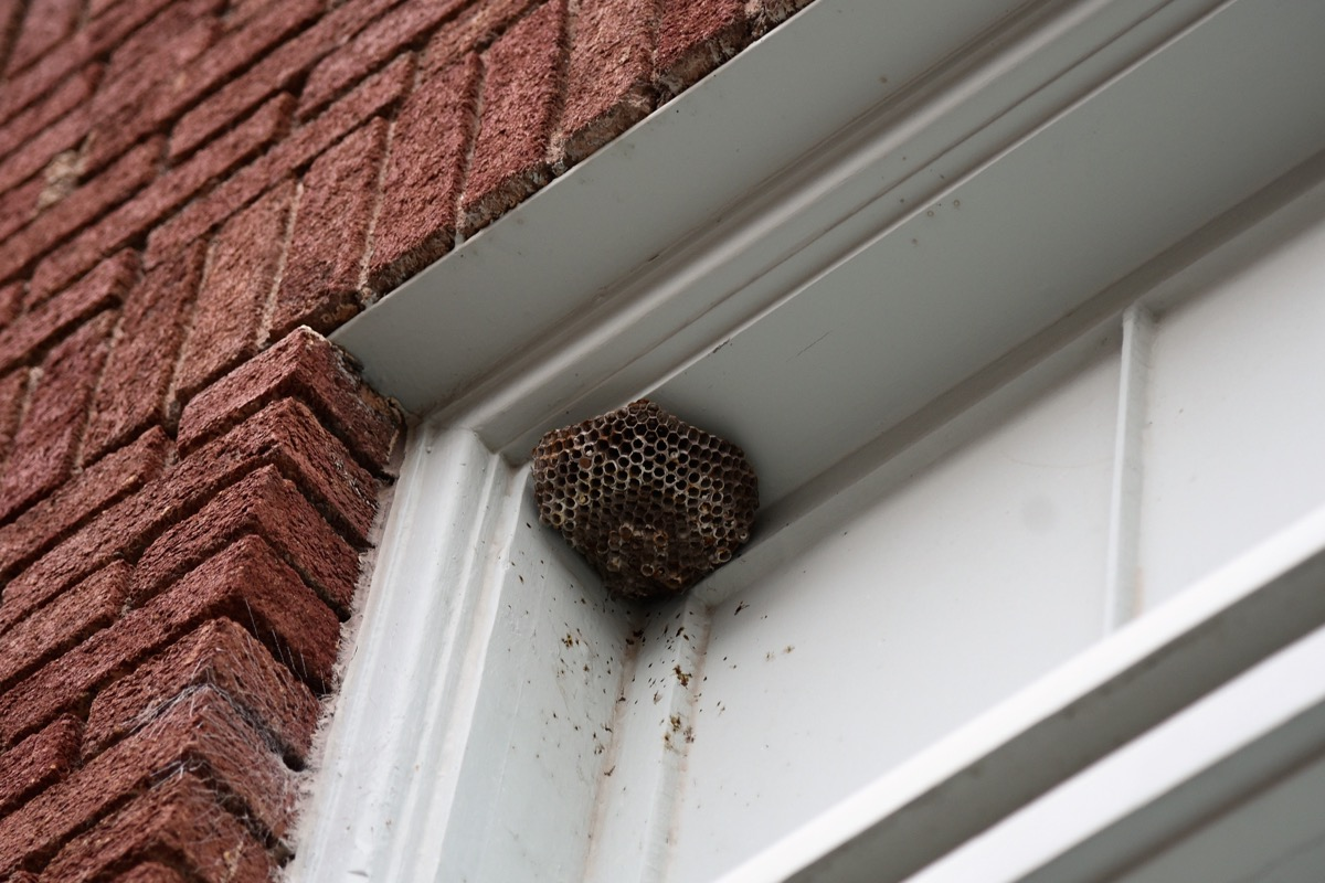 wasp nest in the corner of home, amazing facts