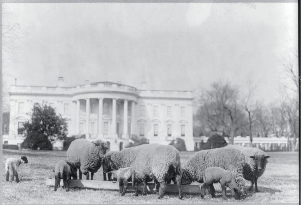 Woodrow Wilson's pet sheep