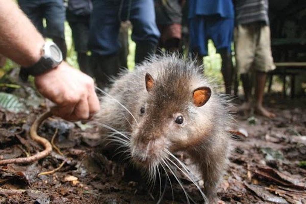 Bosavi Woolly Rat Crazy Critter