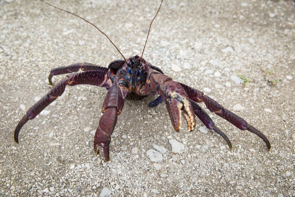 Coconut Crab Crazy Critters