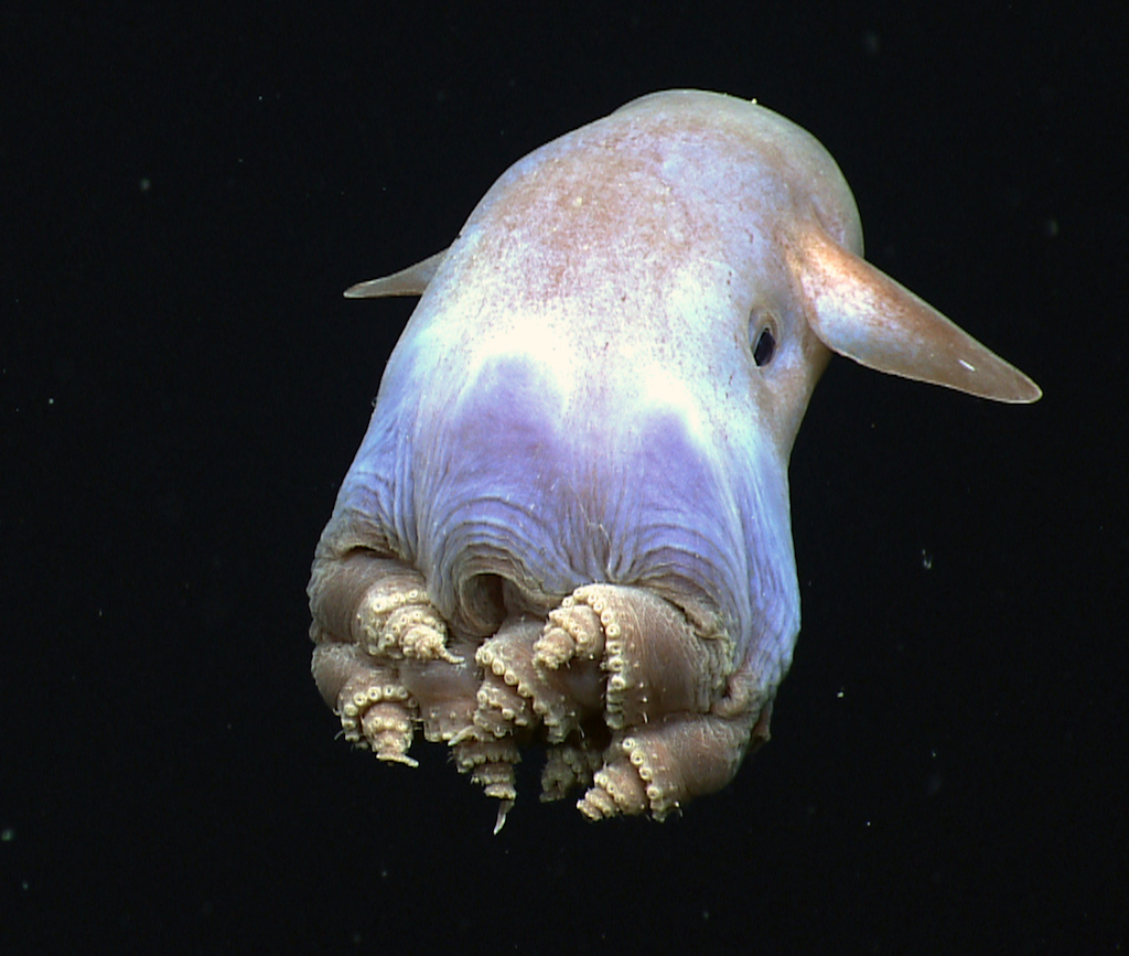 Dumbo Octopus Crazy Critters