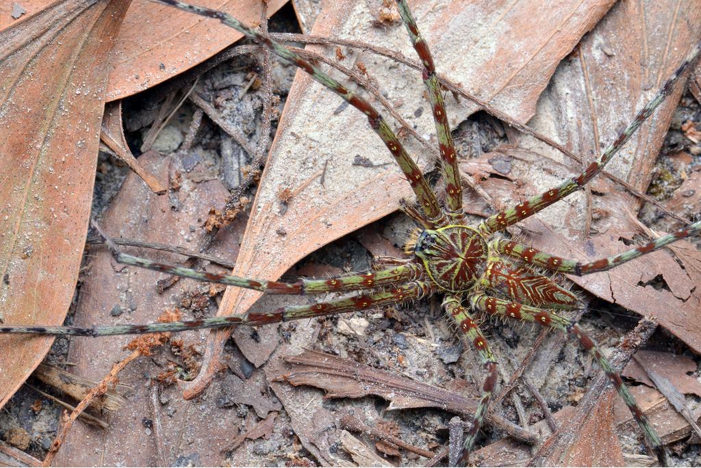Giant Huntsman Spider Crazy Critters