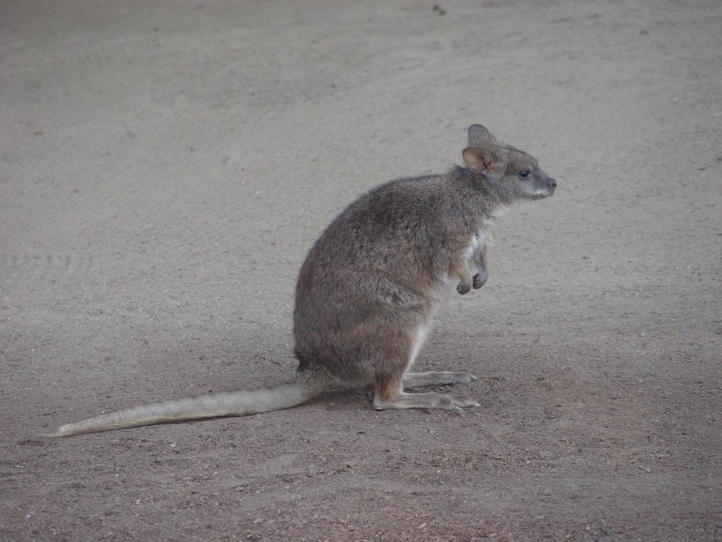 Kangaroo Rat Crazy Critters