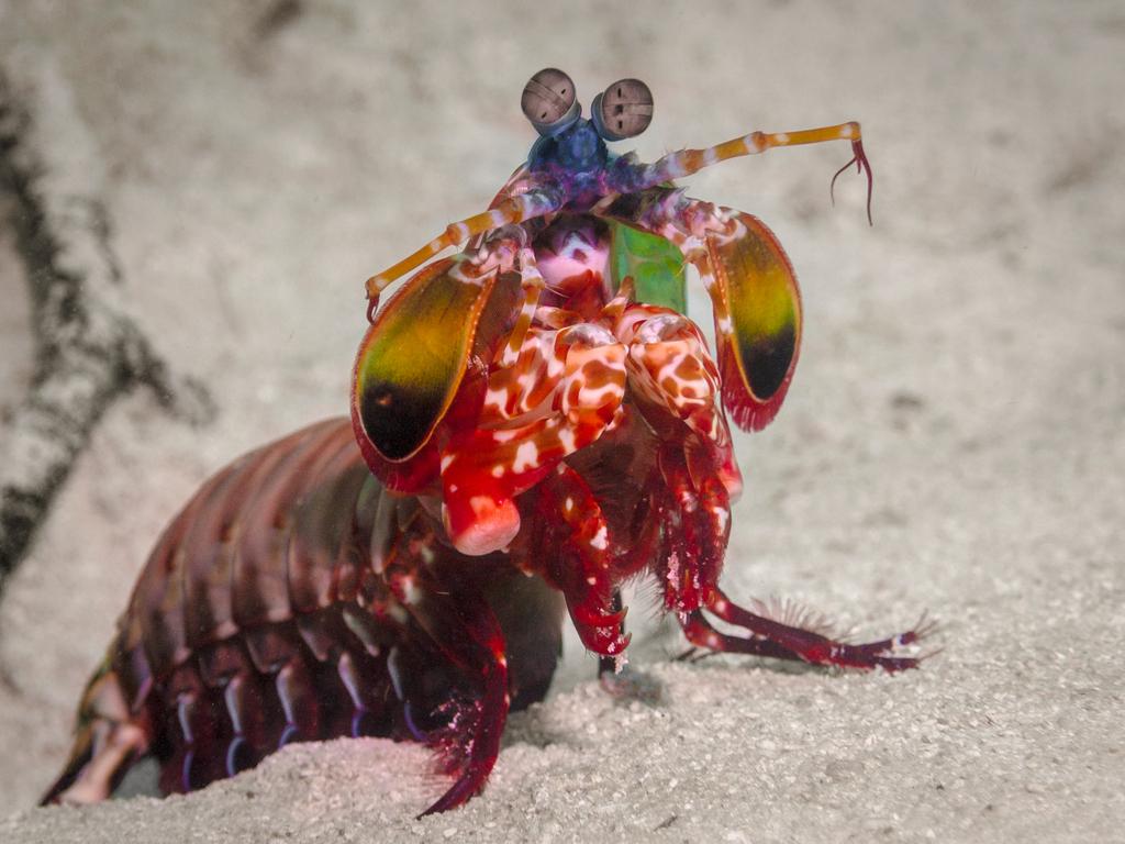 Mantis Shrimp Crazy Critters