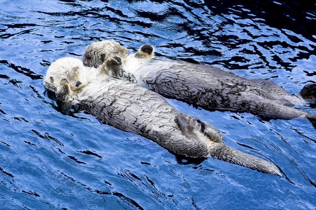 sea otters holding hands and drifting on the sea