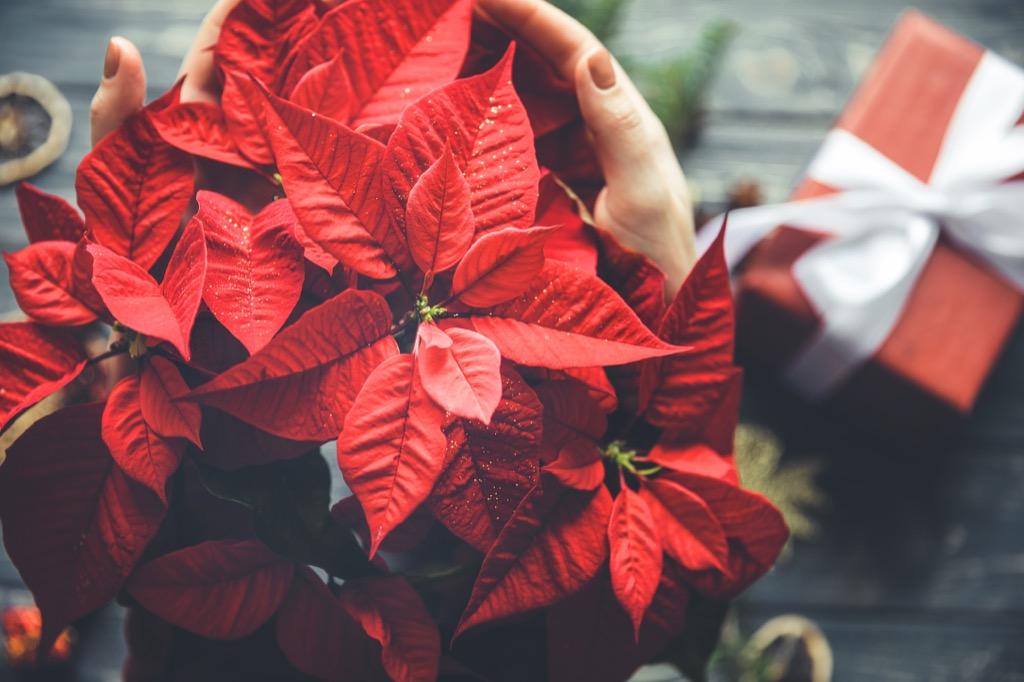 poisettia plant