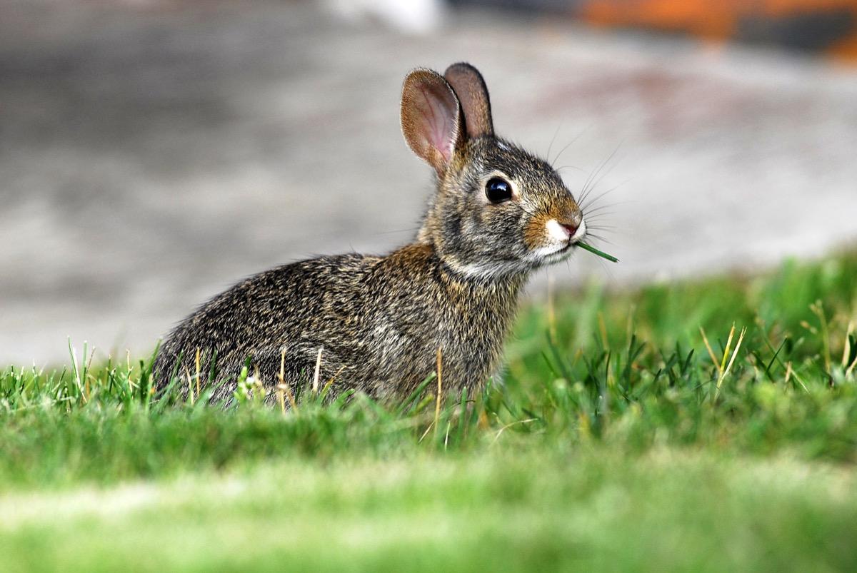 rabbit in a garden eating grass