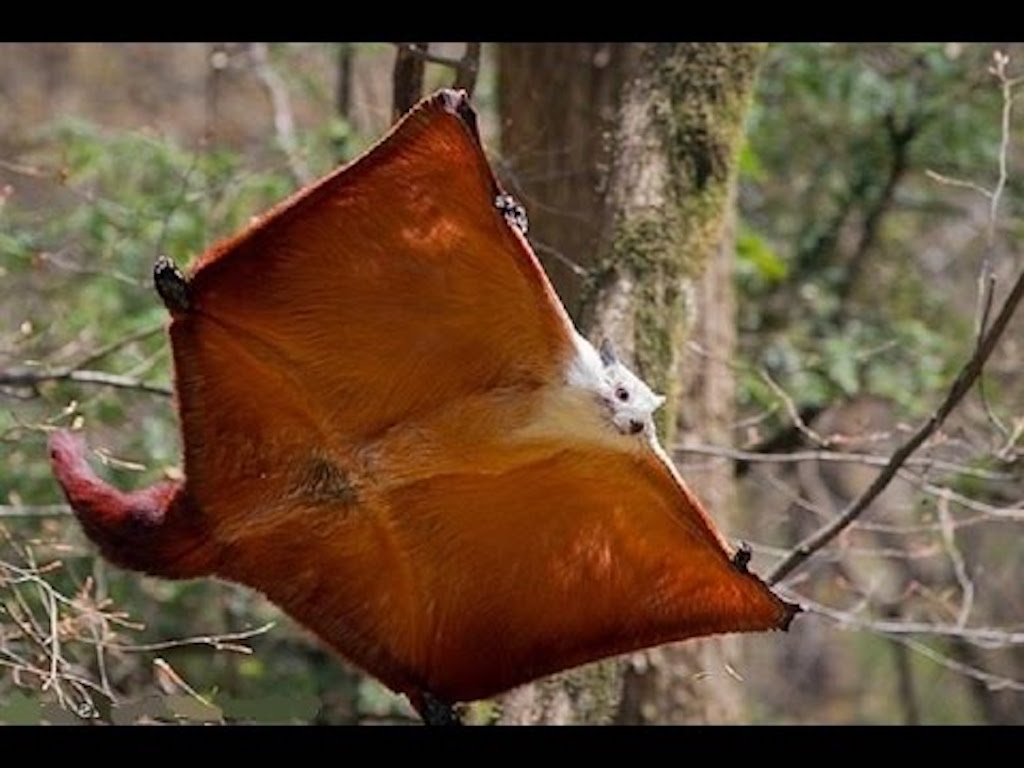 Red and White Flying Squirrel Crazy Critters