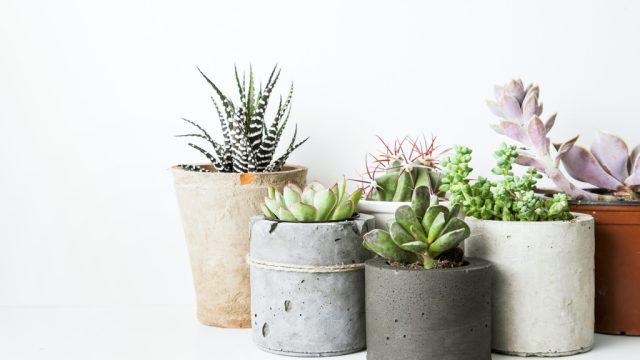 indoor plants succulents
