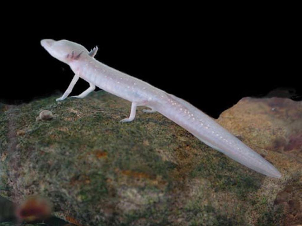 Texas Blind Salamander Crazy Critters