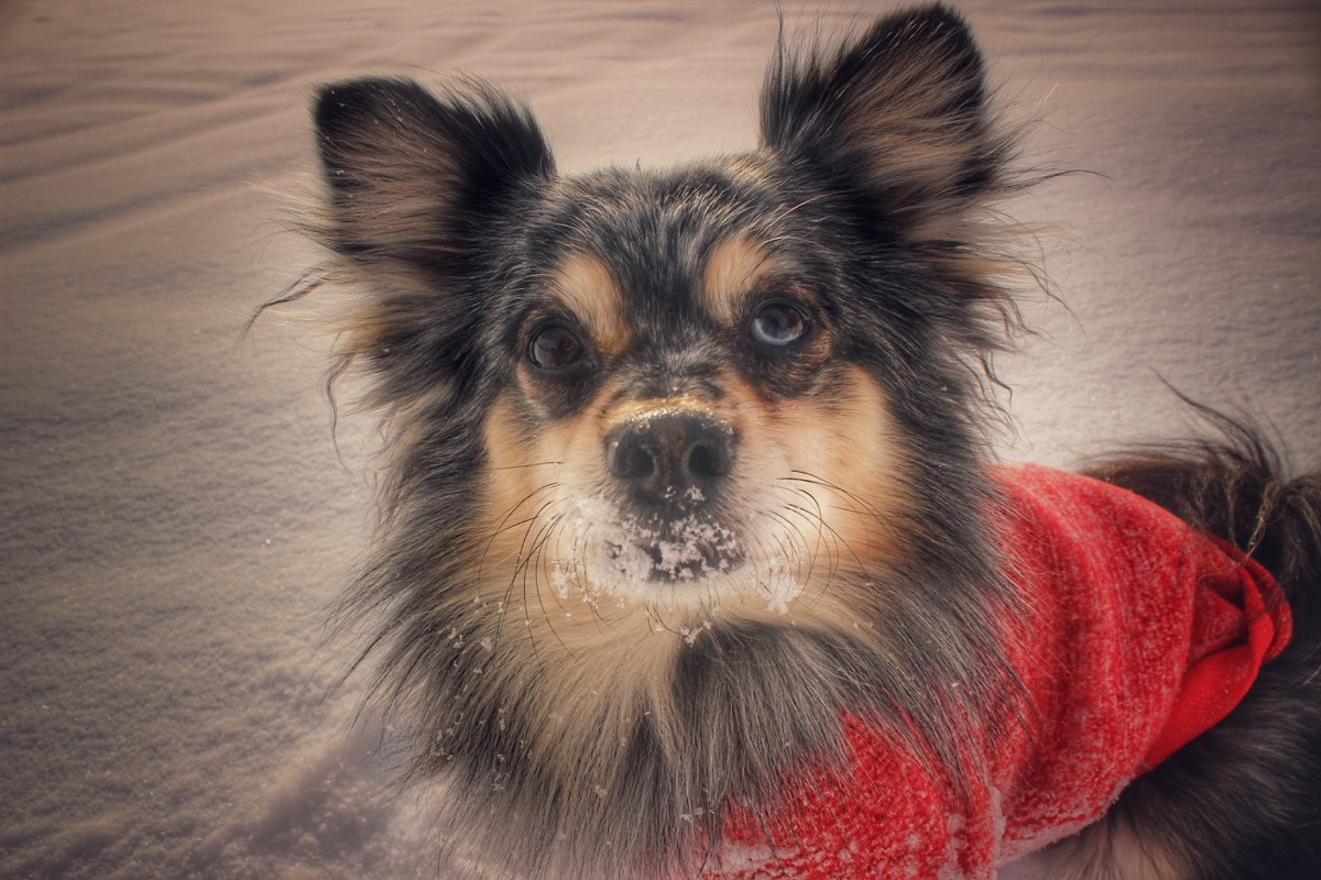 Aussie Pom Mixed Breed Dogs