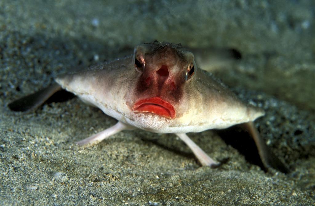 red lipped batfish