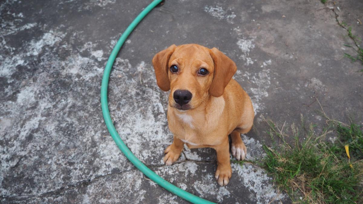 Beagle Labrador Mix Mixed Breed Dogs