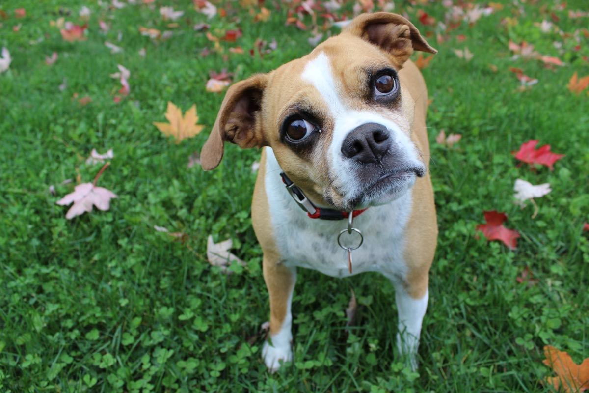 Bulldog Pug Mix Mixed breed Dogs