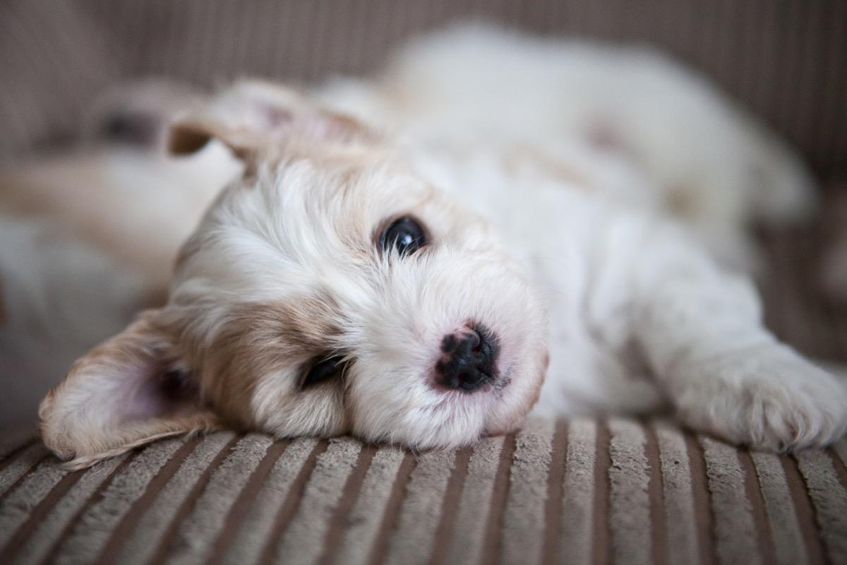 Cavachon Mixed Breed Dogs