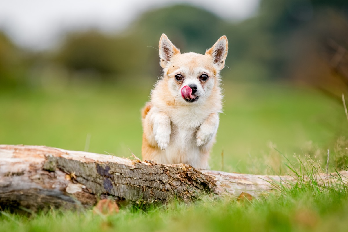 Chorkie Mixed Breed Dogs